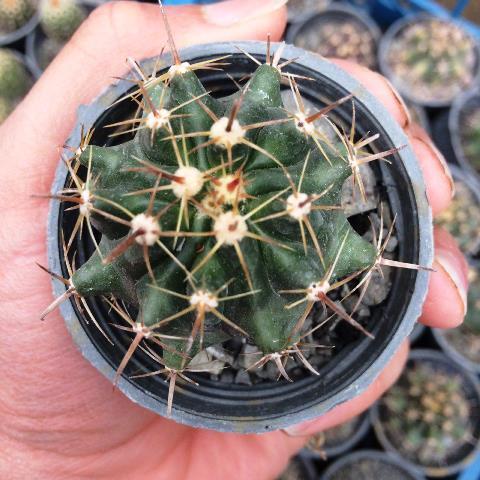 کاکتوس فرو هورا سایز دهانه گلدان شش سانتی متر با کیفیت عالی و تضمینی