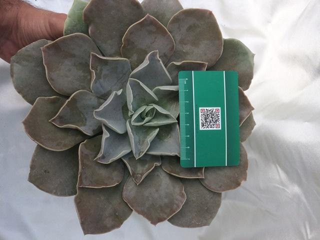 ساکولنت خاص اچوریا استریکتیفلورا سایز مادری - echeveria strictiflora