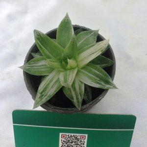 هاورتیا ابلق (ابلغ) سایز گلدان شش- پر ریشه و در حال رشد