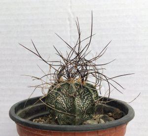 کاکتوس آستروفیتوم كاپری كورن خاربلند(Astrophytum capricorne) سایز گلدان 12