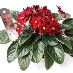 گیاه مادری بنفشه آفریقایی روی گل- رنگ گل جیگری - فروشگاه اینترنتی کهربا