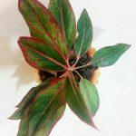 فروش گیاه آپارتمانی آگلونما مینیاتوری قرمز فروشگاه اینترنتی کهربا