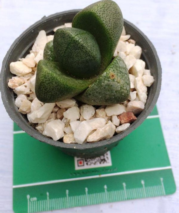 ساکولنت پیلوس پلیوس نلی ( Pleiospilos Nelii ) رنگ سبز سایز گلدان شش