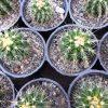 کاکتوس اچینو گروزونی ( echinocactus grusonii ) - سایز گلدان شش