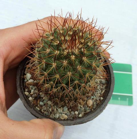 کاکتوس مامیلاریا Mammillaria Spinosissima - سایز گلدان هشت