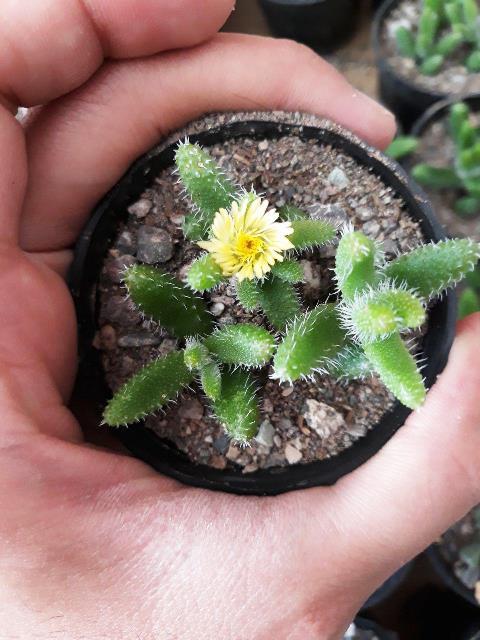 ساکولنت دلوسپرما اچیناتوم سایز گلدان شش - Delosperma echinatum