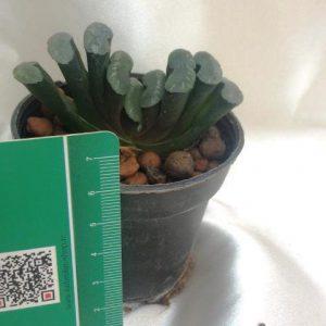 هاورتیا ترانکاتا کلکسیونی (haworthia truncata ) - سایز گلدان هشت