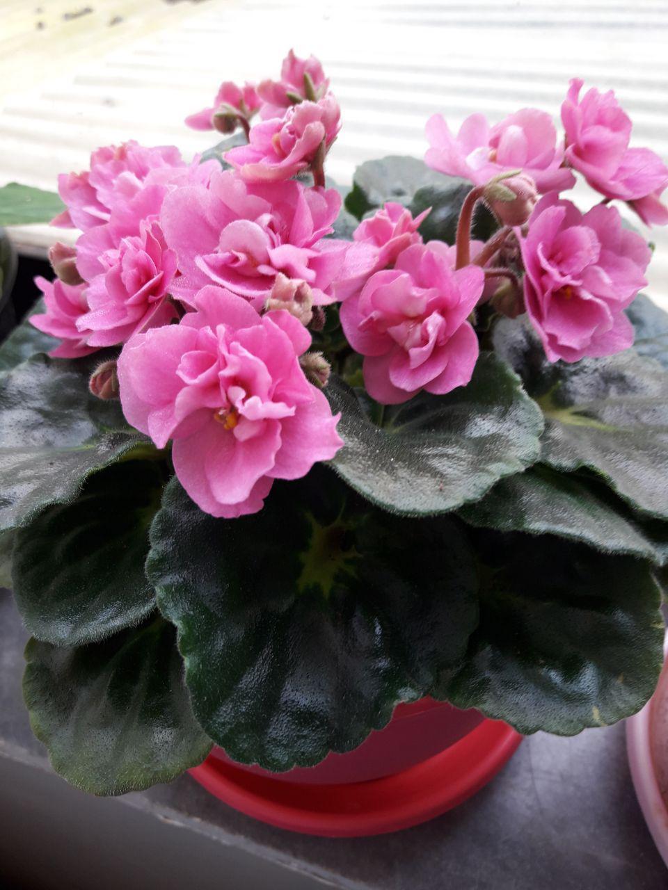 گیاهچه بنفشه آفریقایی واریته Rococo Pink- گل صورتی گلدان ده
