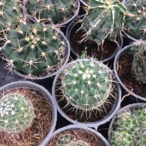 پک کاکتوس مامیلاریا و ژمینو خاص - شامل 40 عدد گلدان سایز شش