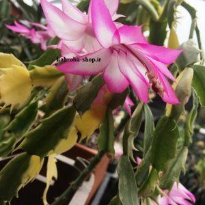 کاکتوس کریسمس ابلق گلدار پیوندی روی پرسکیا Schlumbergera Cactus Varigated