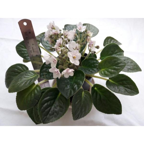 گیاهچه بنفشه آفریقایی گلدار- رنگ گل سفید - سایز گلدان هشت
