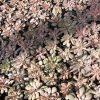 ساکولنت اچوریا خاص ( دیفراکتنس ) - Echeveria Diffractens گلخانه کاکتوس کهربا