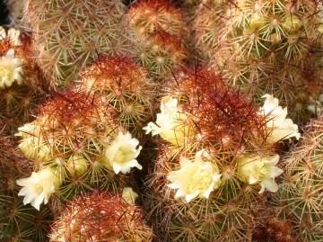معرفی کاکتوس مامیلاریا الگانتا و شرایط نگهداری- Mammillaria Elongata