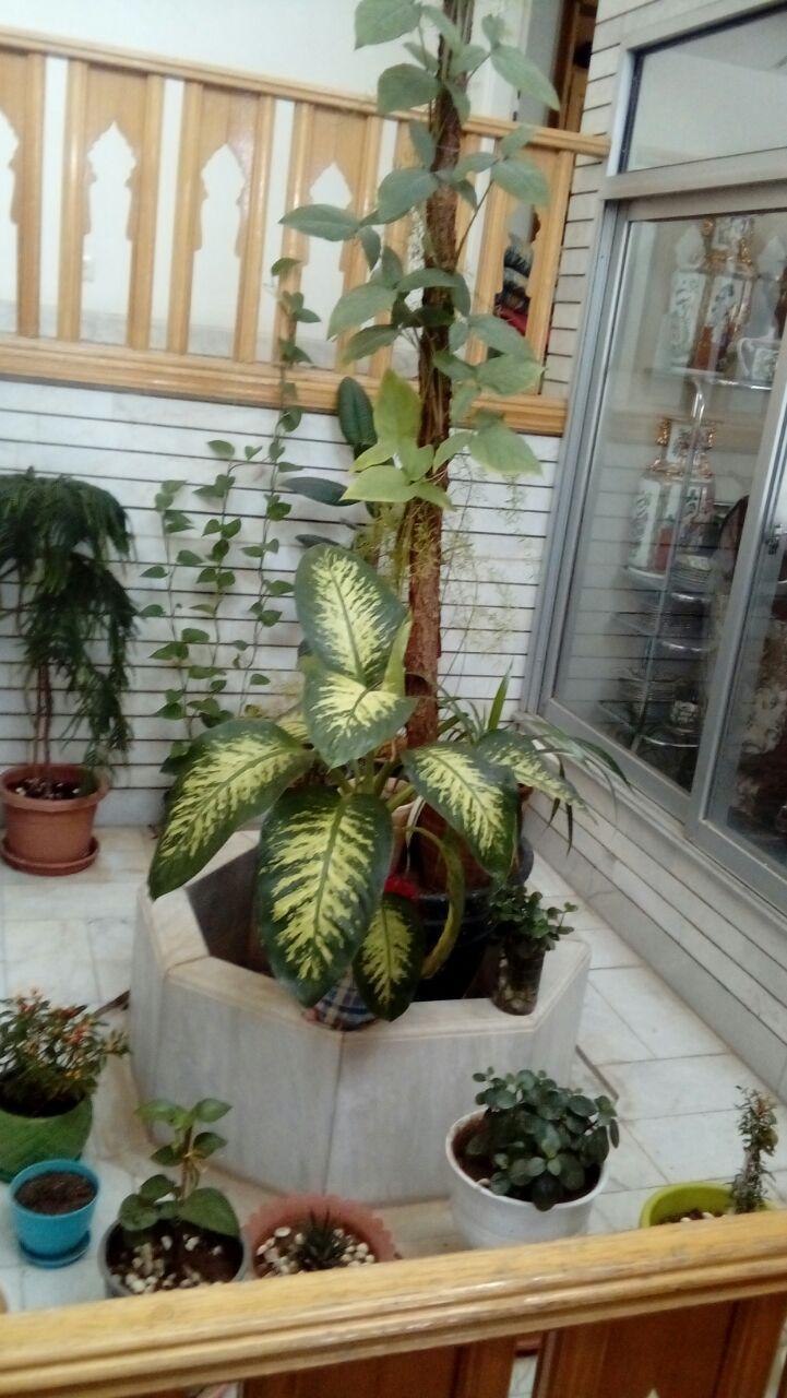 سوالات متداول شماره یک در مورد نگهداری گیاه آدنیوم از یکی از دوستان کهربا