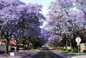 پالونیا درختی زینتی سايه دار و بسیار زیبا است كه به دلیل گل های بسیار زیبا و خوشه مانندی که دارد ، بسیار محبوب است