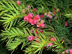 معرفی گیاه کاج تاکسوس و روش های نگهداری آن - Taxus Baccata