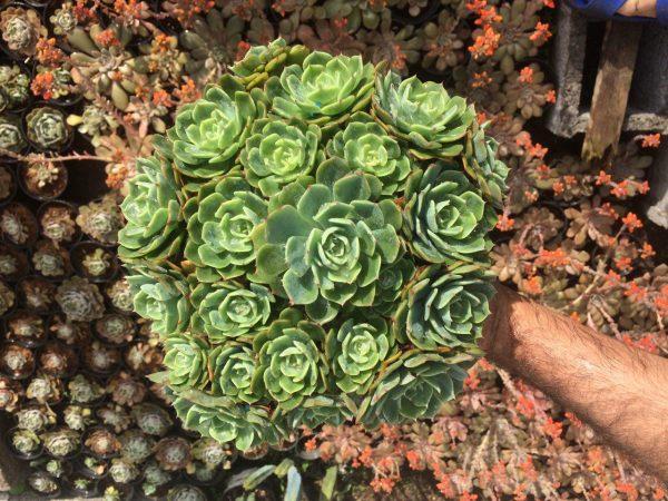 دسته گل اچوریا ( اشوریا ) الگانس کاشته شده در گلدان سفید پلاستیکی