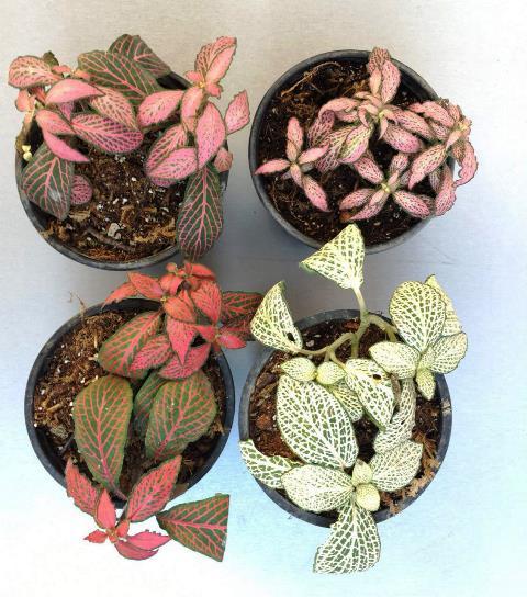 عکس گیاه فتونیا در انواع خاص با رنگ های جذاب