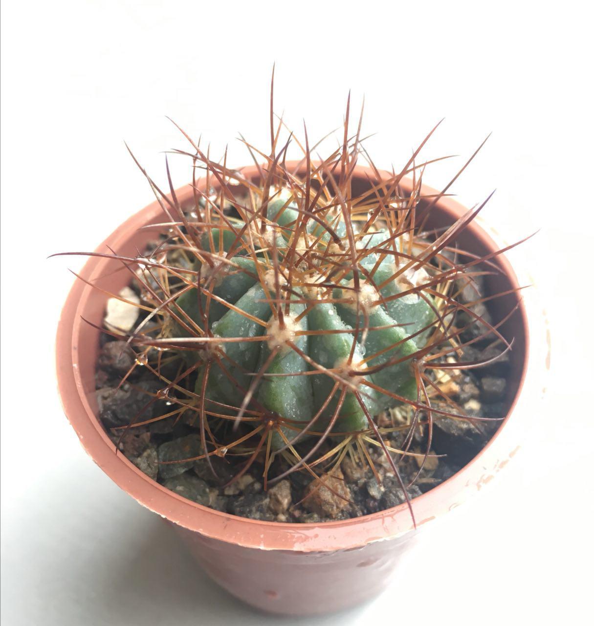 کاکتوس ملو آبی گلدان شش Blue Melocactus فروشگاه کاکتوس کهربا