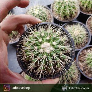 کاکتوس اچینو گروزونی ( echinocactus grusonii ) - سایز گلدان ده