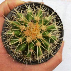 کاکتوس اچینو گروزونی ( echinocactus grusonii ) - سایز گلدان هشت