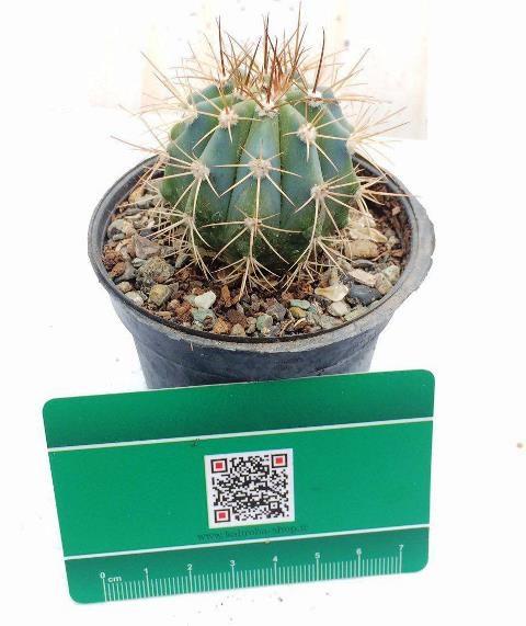 کاکتوس ملو آبی (melon cactus (blue color - سایز گلدان هشت