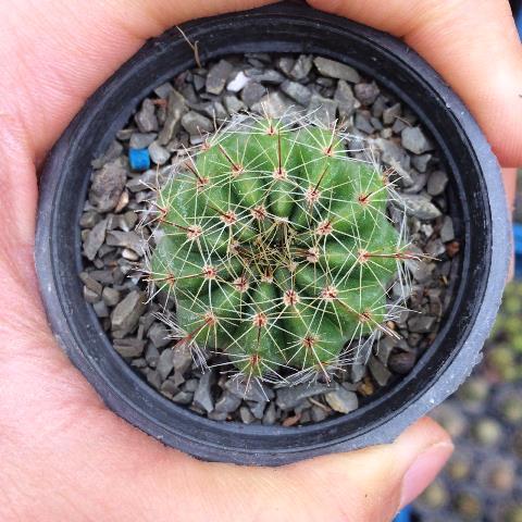 کاکتوس ملو سبز ( Melo cactus ) - سایز دهانه گلدان شش سانتی متر
