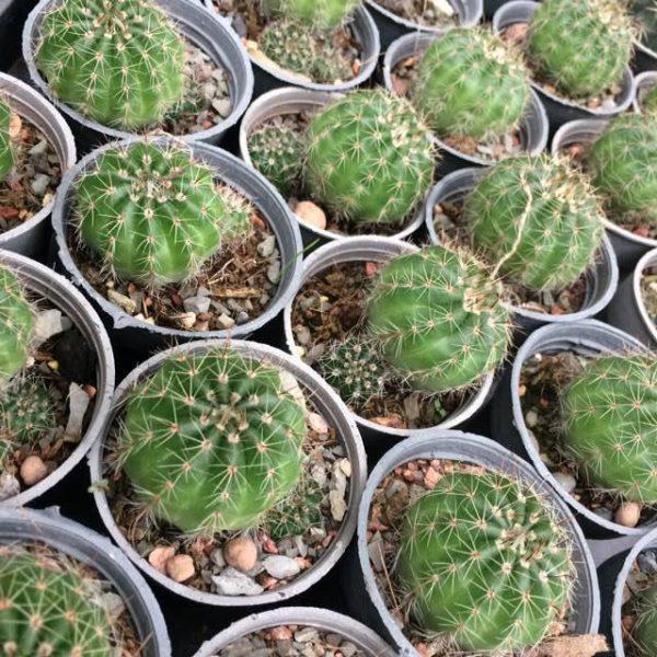 کاکتوس ملو سبز ( Melo cactus ) – سایز دهانه گلدان شش سانتی متر