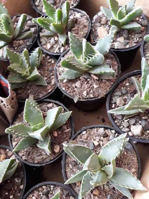 ساکولنت فوکاریا تایگرینا ( دندان ببریی) سایز گلدان شش- faucaria tigrina