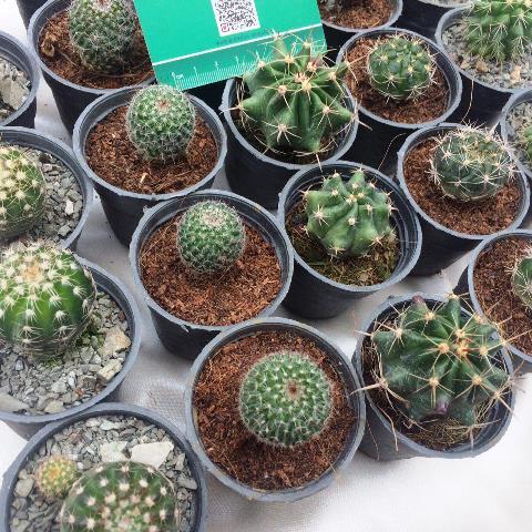پک 25 عددی کاکتوس بذری میکس سایز گلدان شش شامل گونه های مختلف