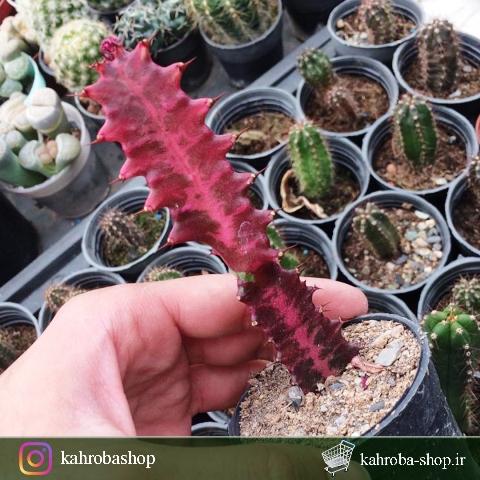 افوربیا تریگونا برگ قرمز (Euphorbia trigona Red Leaf) – سایز گلدان ۱۰افوربیا تریگونا برگ قرمز (Euphorbia trigona Red Leaf) – سایز گلدان ۱۰