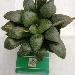 هاورتیا کرکتا کلکسیونری مادری (haworthia correcta) - سایز گلدان 10 پر