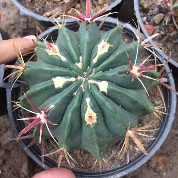 کاکتوس فرو لاتیسپینوس تیغ قرمز (ferro latispinus cactus) - سایز گلدان 14