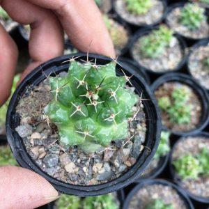 کاکتوس مامیلاریا ملانوسنترا (Mammillaria melanocentra) - سایز گلدان شش