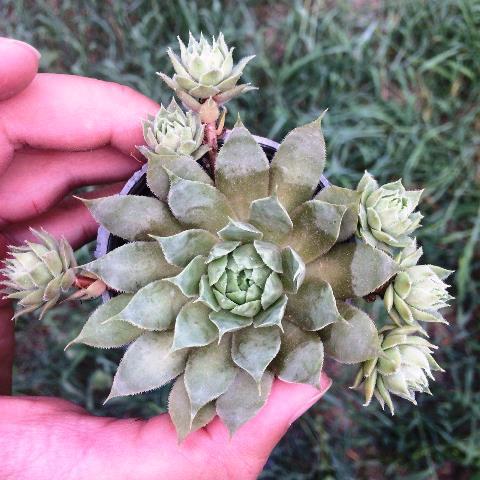 ساکولنت سمپرویوم لب ماتیکی گلدان شش پر بچه- SEMPERVIVUM