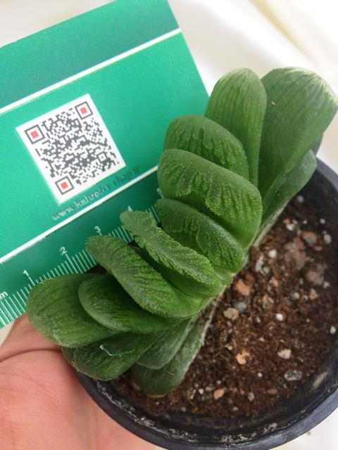 هاورتیا ترانکاتا گرین لایم ( haworthia truncata green lime ) - سایز گلدان نه