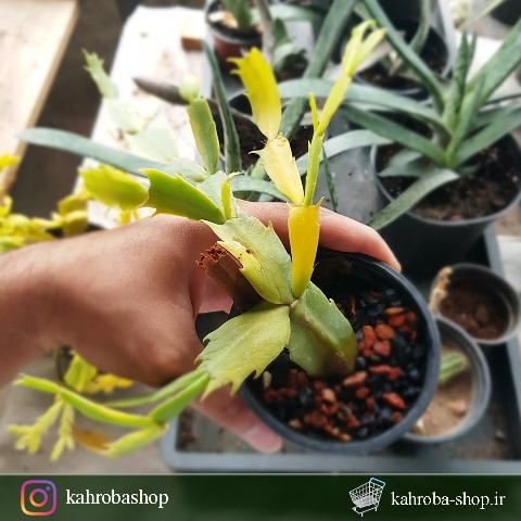 کاکتوس کریسمس ابلق Schlumbergera Cactus Varigated - سایز گلدان نه
