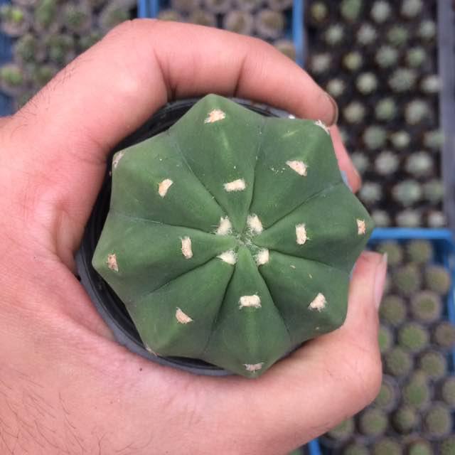 کاکتوس اچینوپسیس سابدنوداتا (Echinopsis Subdenudata cactus) - سایز گلدان شش