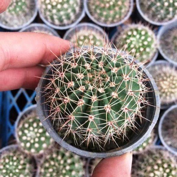 کاکتوس اکانتو کالیسوم (Acanthocalycium cactus) - سایز گلدان شش