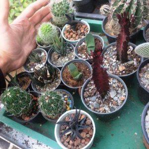 پک کاکتوس و هاورتیا و افوربیا وگاستریا - شامل 28 عدد گلدان اکثرا سایز 8 پر