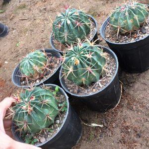 پک 5تایی کاکتوس فرو لاتیسپینوس تیغ قرمز- سایز گلدان 14