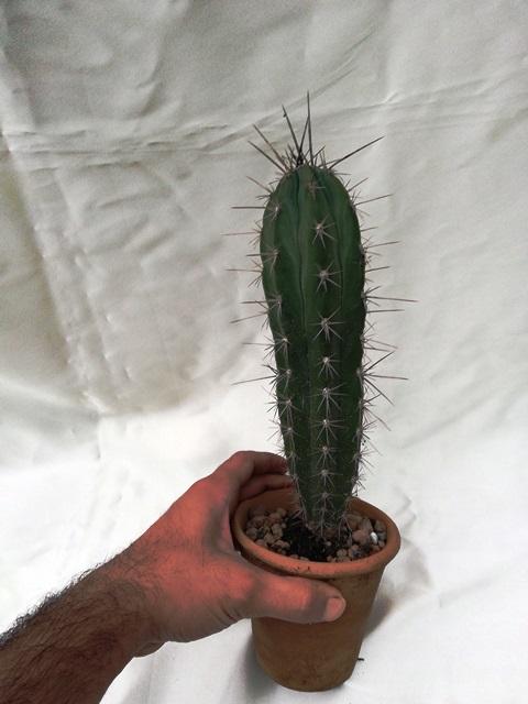 کاکتوس تیغ بلند STETSONIA CORYNE