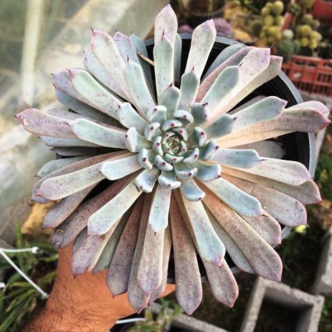 ساکولنت اچوریا خاص کلکسیونی ( Echeveria ) - سایز گلدان 14