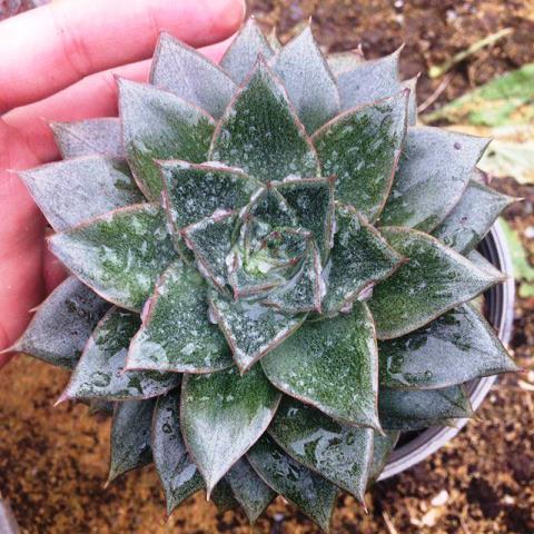 ساکولنت اچوریا پرپوزوریم مادری ( Echeveria Pourposorum) - سایز گلدان 14