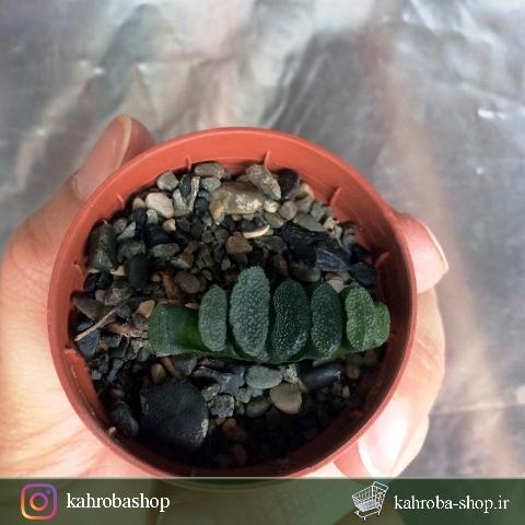 هاورتیا ترانکاتا کلکسیونی کوچک (haworthia truncata ) - سایز گلدان شش