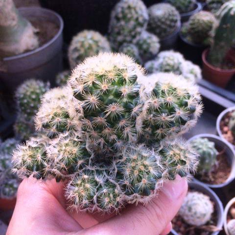کاکتوس مامیلاریا کارمنا پربچه ( Mammillaria Carmenae Cactus) - سایز گلدان شش