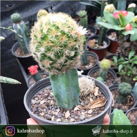 کاکتوس مامیلاریا کارمنا پیوندی روی پایه میرتلو (Mammillaria Carmenae Cactus)