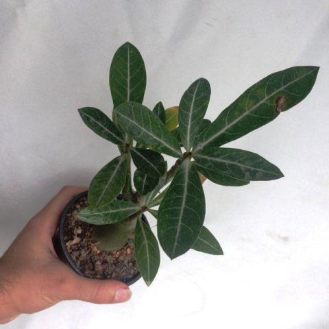 گیاهچه دوساله آدنیوم نژاد بلک سومالنز اصل (adenium Black Somalense) -سایز گلدان 10
