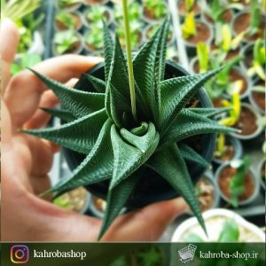 هاورتیا لیموفیلیا ابلق (Haworthia Limifolia Variegated) - سایز گلدان هشت