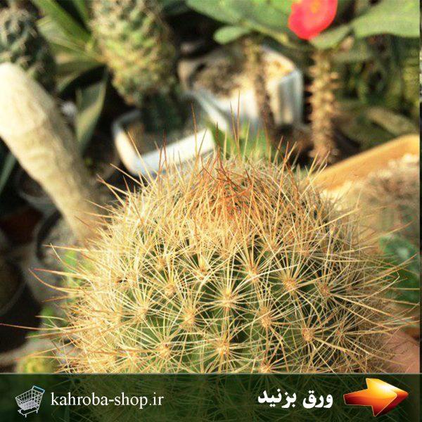 کاکتوس ماتوکانا هاینی (Cactus Matucana Haynei) - سایز گلدان 10